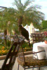 Phoenicianbird