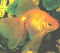 Veil_tail_goldfish